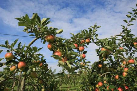 Les arbres des Jardins Fruitiers de Laquenexy sont en vente