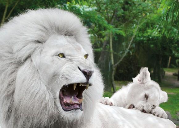 Nuit paisible pour les 3 lions blancs arrivés au zoo d'Amnéville hier
