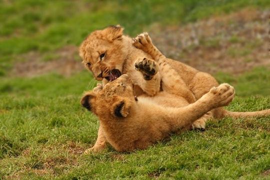 Cirque Zavatta : 2 lionceaux sont nés à Bitche