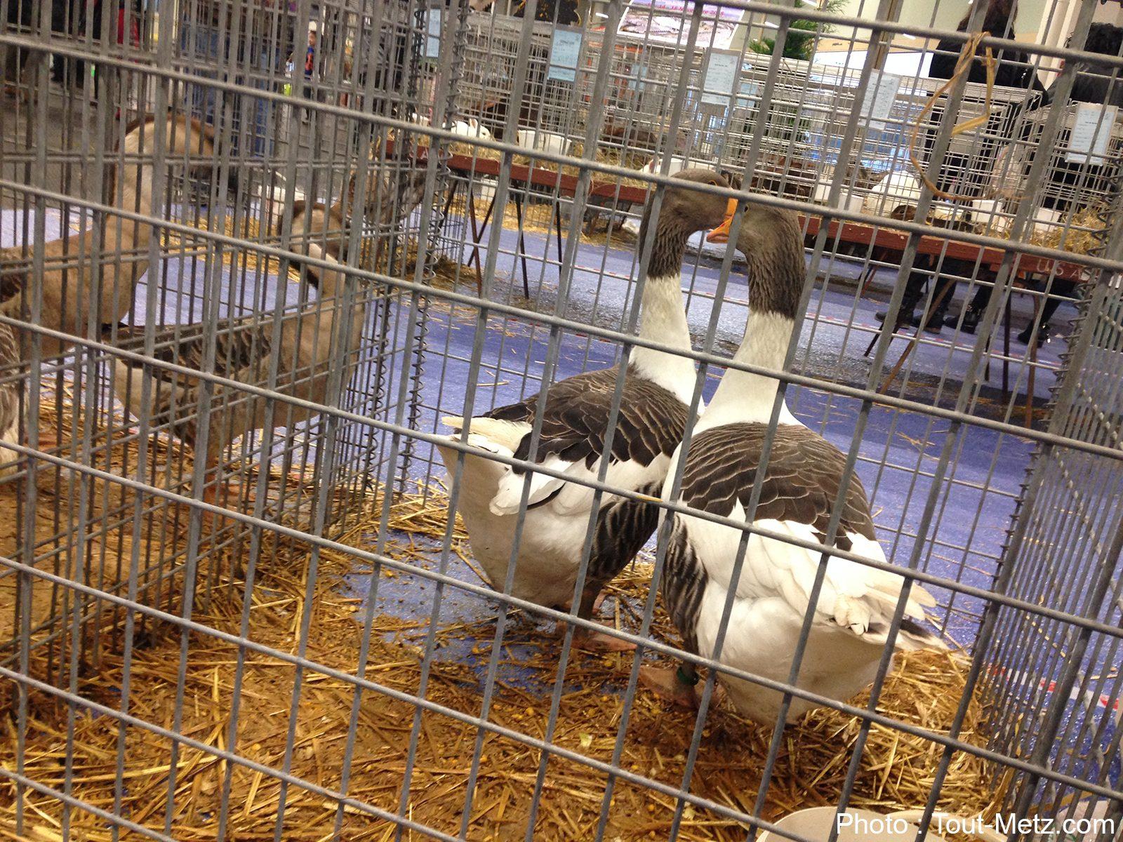 Grippe aviaire : la Moselle passe en risque «élevé»