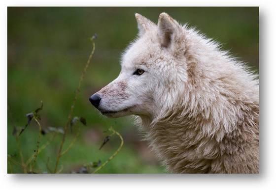 Le Parc animalier de Sainte-Croix accueille 7 loups blancs (vidéo)
