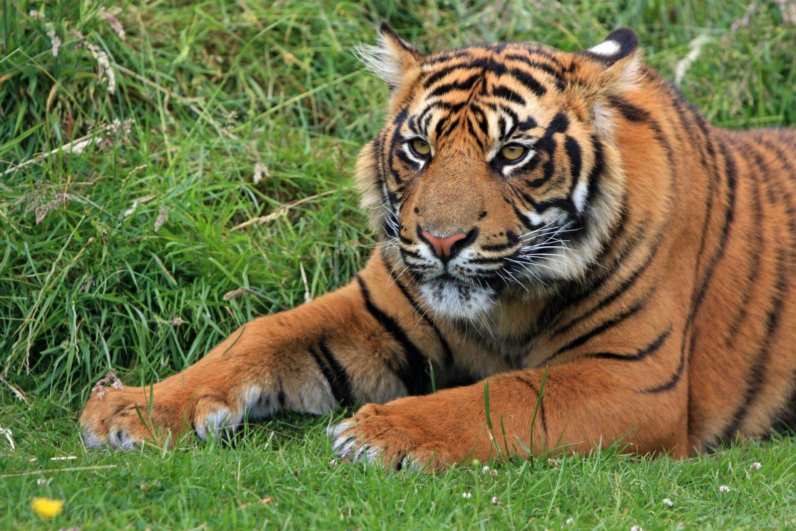 Tiger World, un show 100% tigre inauguré en avril au Zoo d'Amnéville