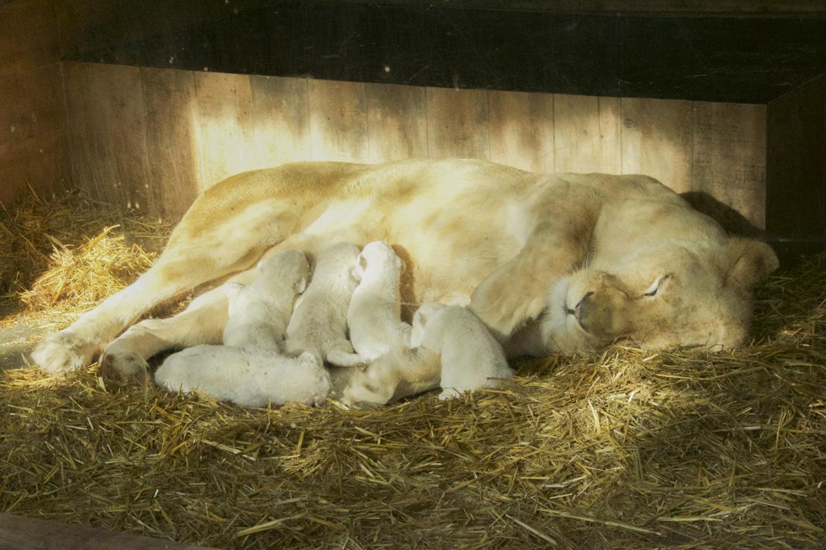 Photos : 5 lionceaux blancs sont nés au Zoo d'Amnéville