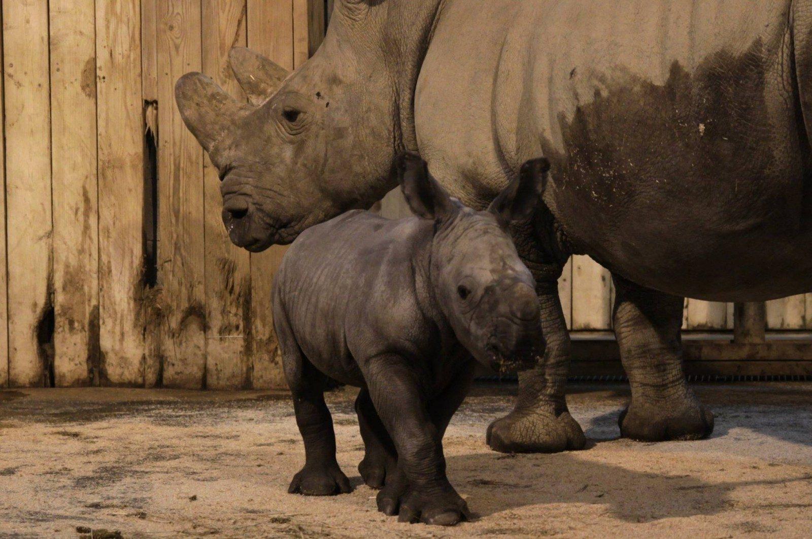 Le Zoo d'Amnéville organise la Baby Shower de Shango, le bébé rhino