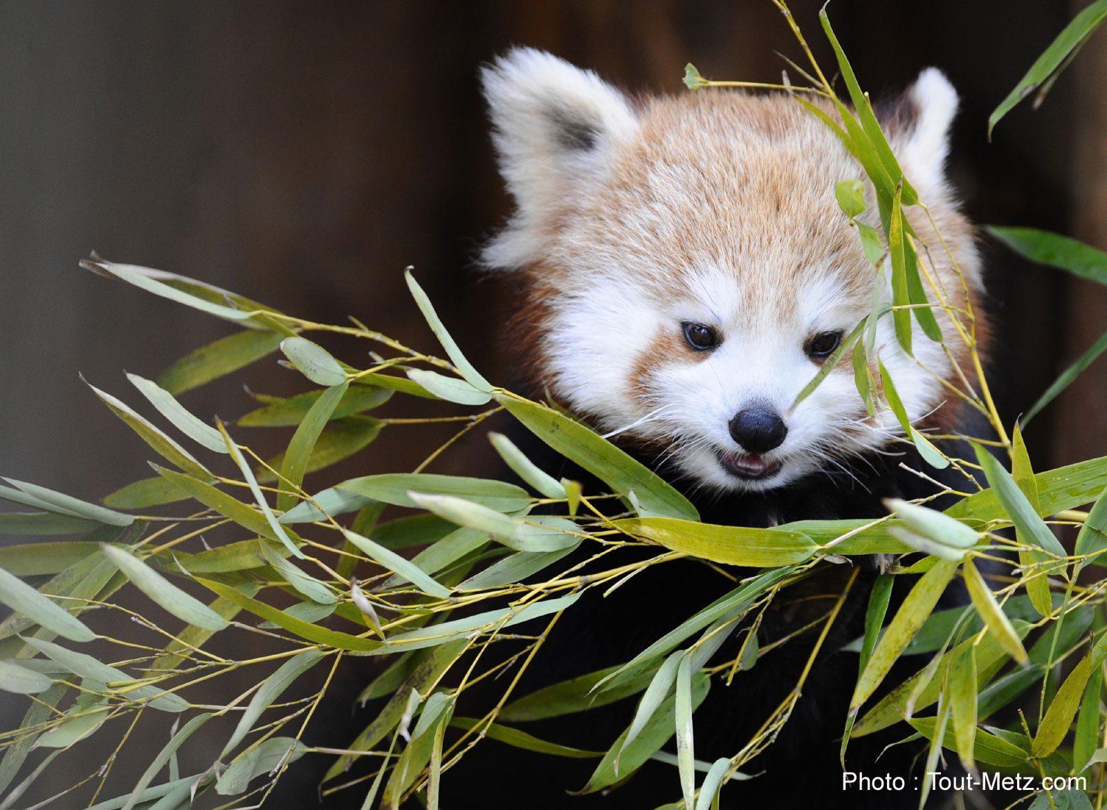 Photos : les pandas roux du Parc animalier Sainte-Croix sont de sortie