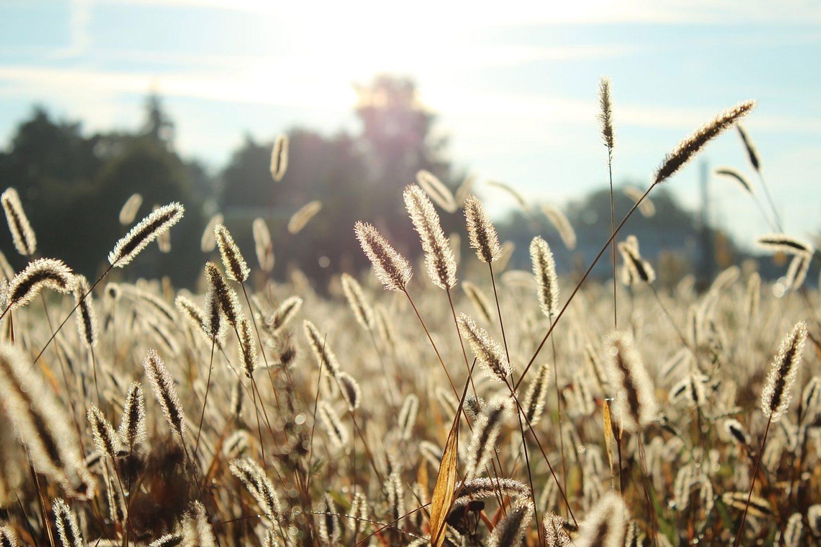 Allergies aux pollens : alerte maximale aux graminées en Lorraine