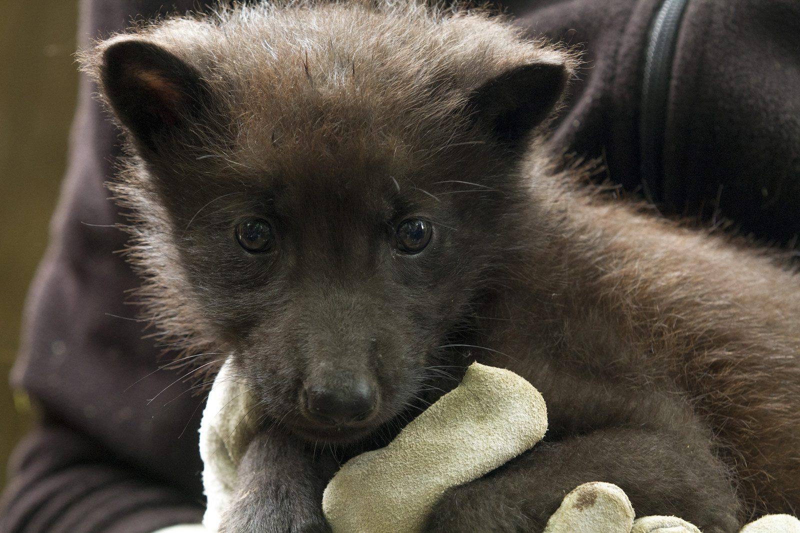 Carnet rose : un louveteau noir est né au Parc de Sainte-Croix (photo)