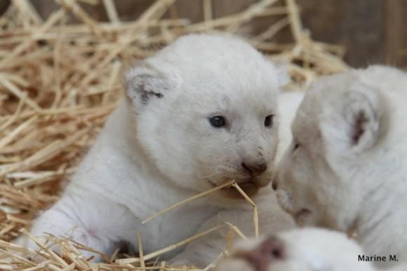 naissance de lionceaux blancs au zoo d 39 amn ville photos. Black Bedroom Furniture Sets. Home Design Ideas
