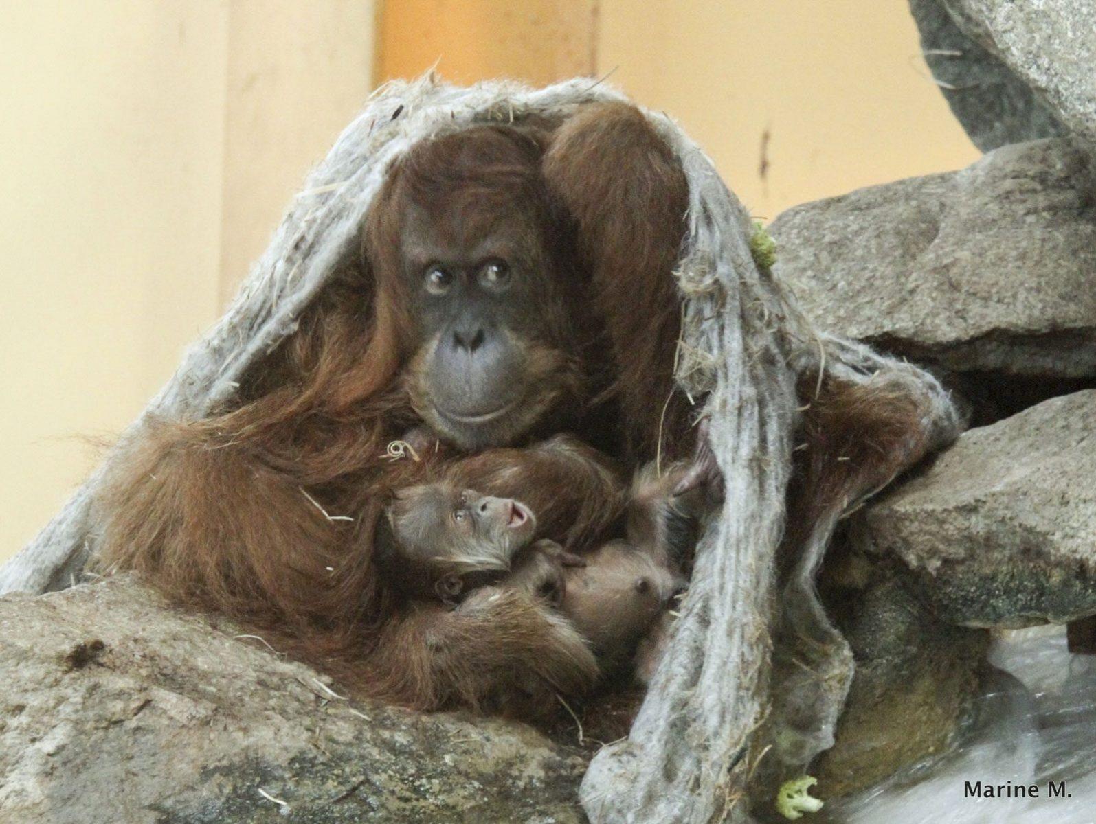 Un bébé orang-outang vient de naître au Zoo d'Amnéville