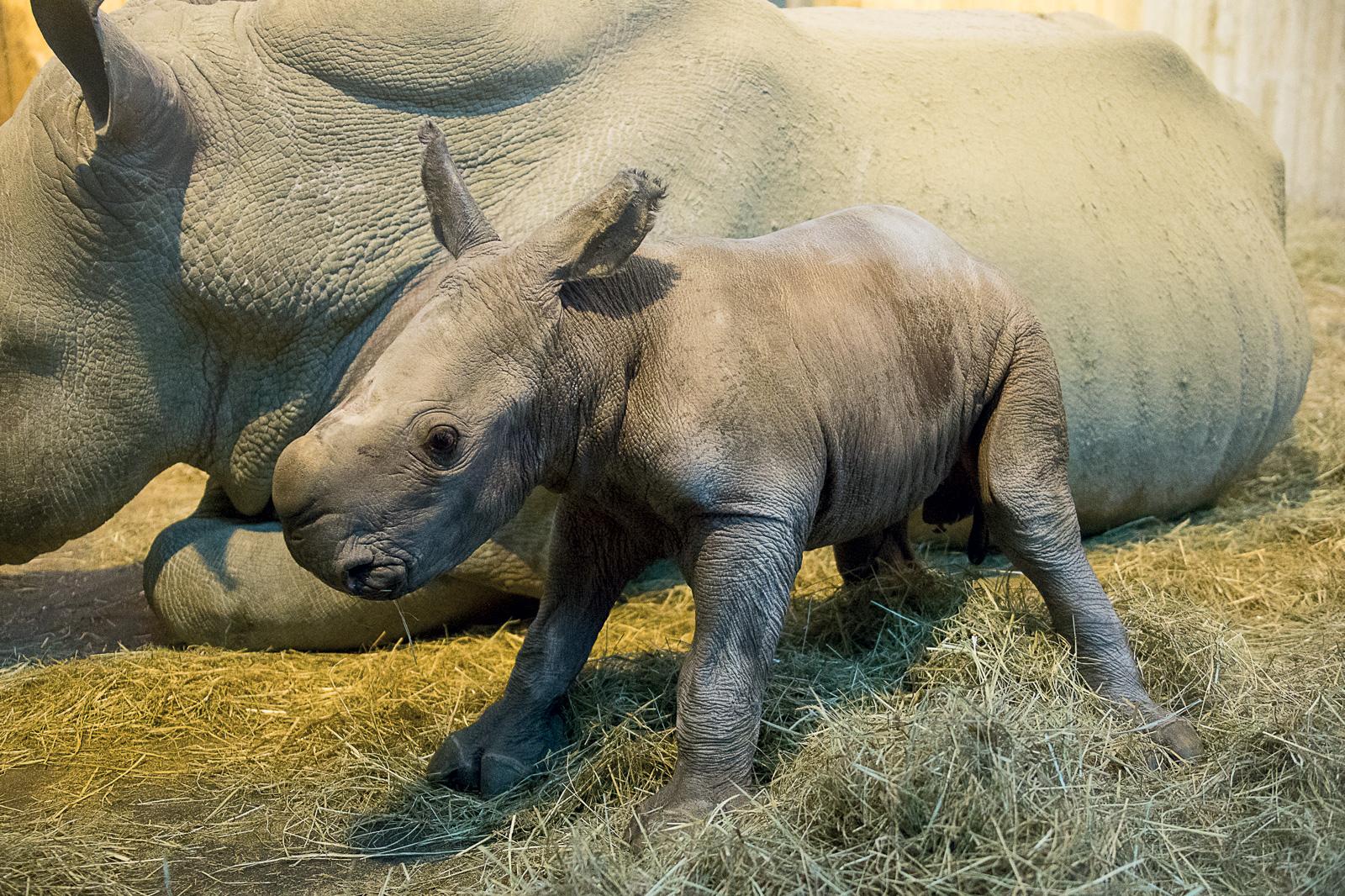 Photos : un bébé rhinocéros blanc est né au Zoo d'Amnéville