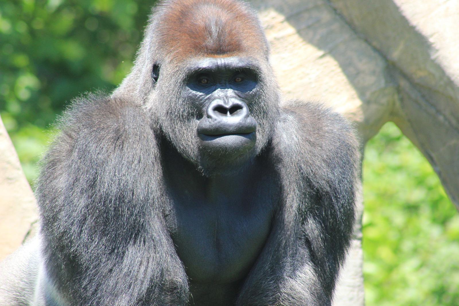 Un gorille est mort au zoo d'Amnéville