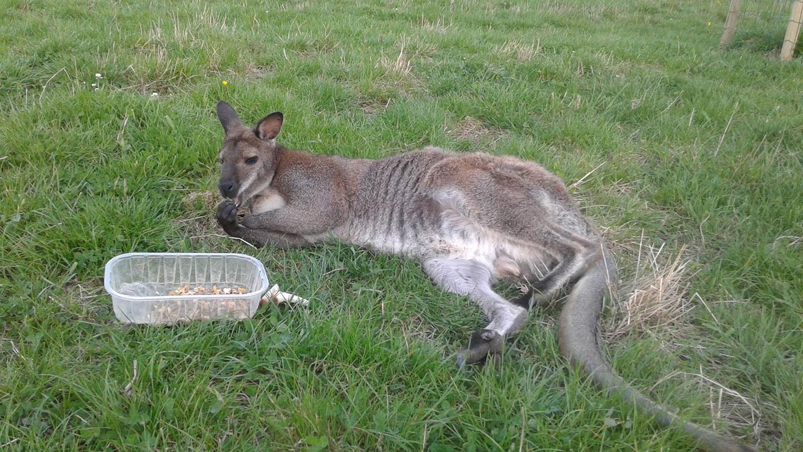 Le wallaby volé en Belgique retrouvé et capturé par les pompiers de Meurthe et Moselle