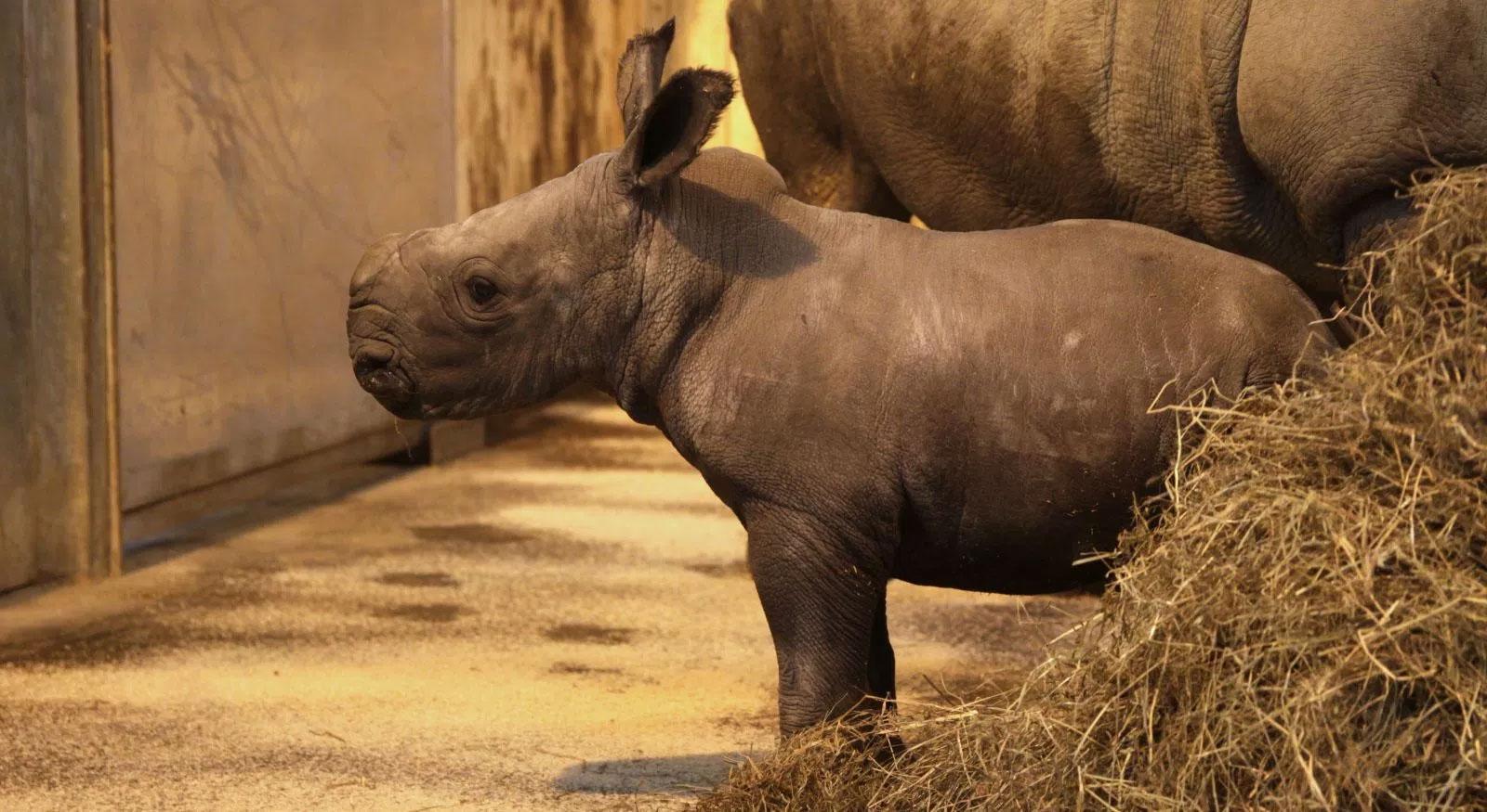 Shango, le premier bébé rhinocéros blanc, a quitté le zoo d'Amnéville