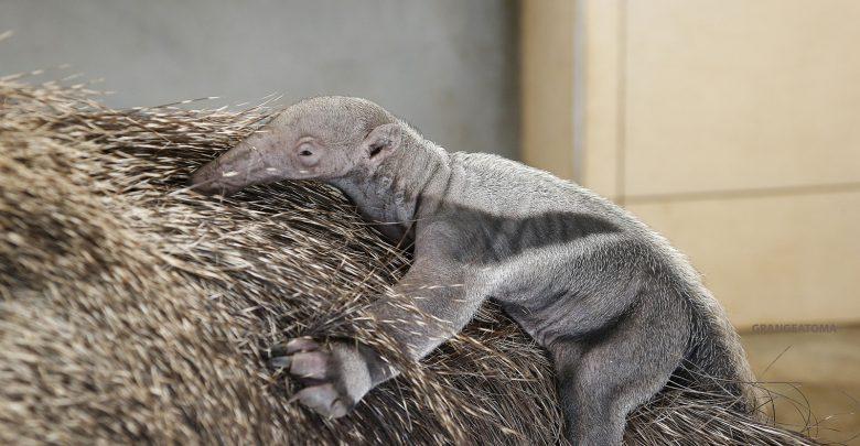 Photo of Un bébé tamanoir est né au zoo d'Amnéville, une naissance exceptionnelle (photos)