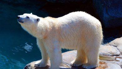 Photo of Cadavre de l'ours polaire à la déchetterie : le vétérinaire du zoo d'Amnéville dément