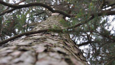 Photo de Epidémie : abattage d'arbres sur le plateau de Frescaty, ravagés par les scolytes