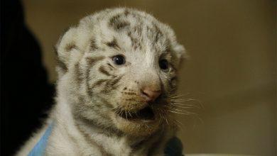 Photo de Zoo d'Amnéville : des bébés tigres blancs sont nés (photos)