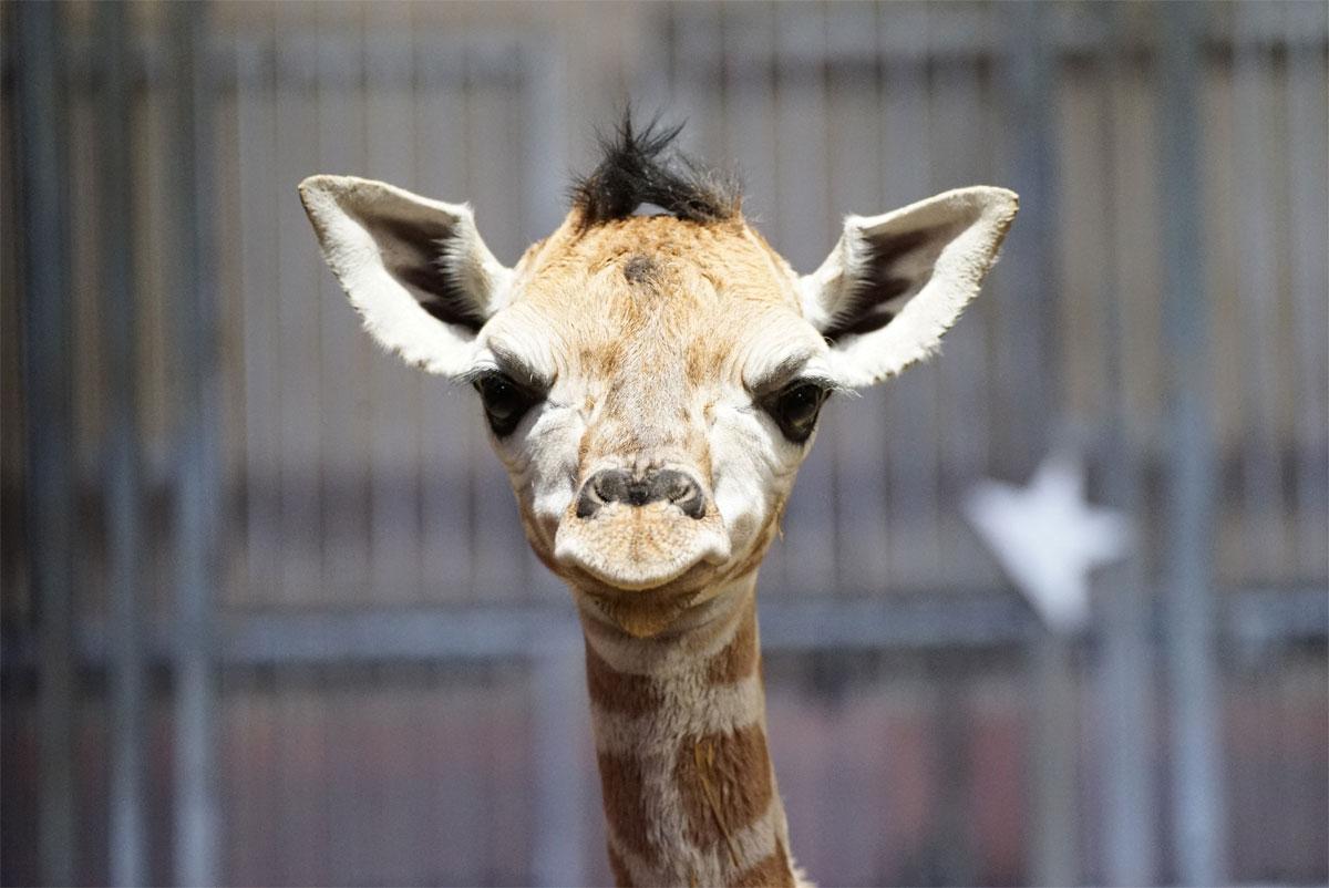 Photo de Naissance rare d'un bébé girafe au zoo d'Amnéville (photos)