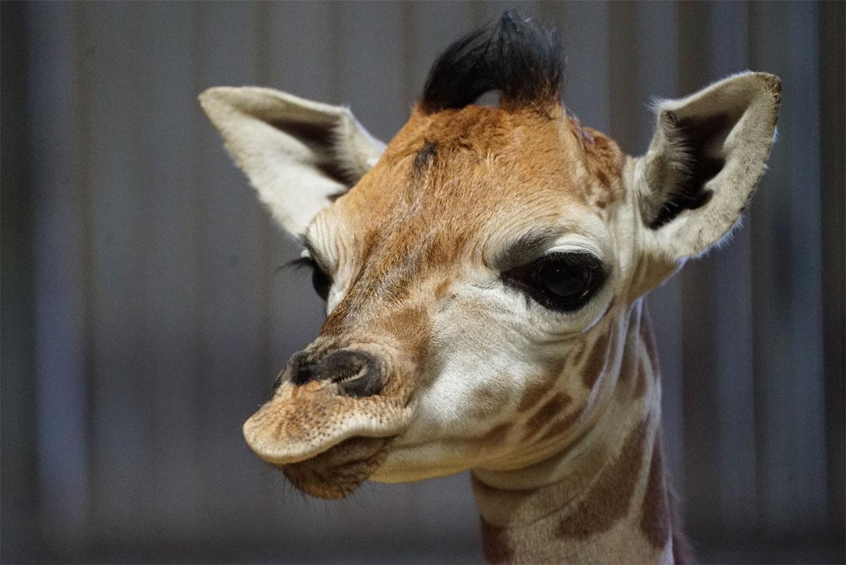Photo de Zoo d'Amnéville : les internautes ont choisi le prénom du girafon